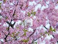 rosa Kirschblütenbaum während des Tages