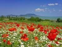 Mohnblumen am Plattensee in Ungarn