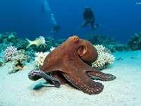 koraalrif, octopus