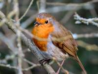 oranžový a šedý pták na větvi stromu