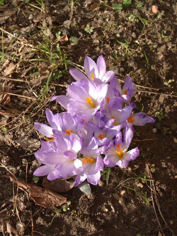 лилави минзухари - Пролетни поздрави с минзухари (9×12)