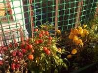 Pimentas na varanda