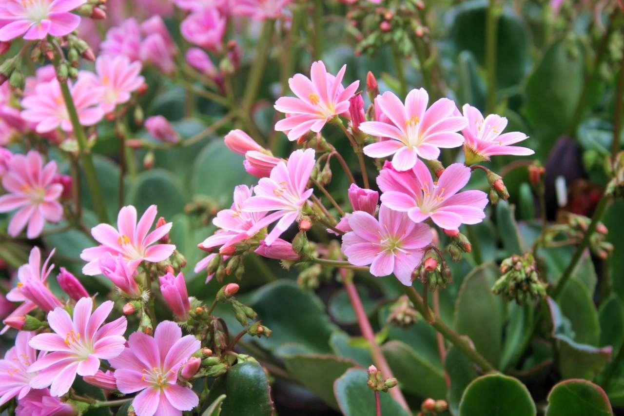 розови цветя - Розови цветя в градината (19×13)