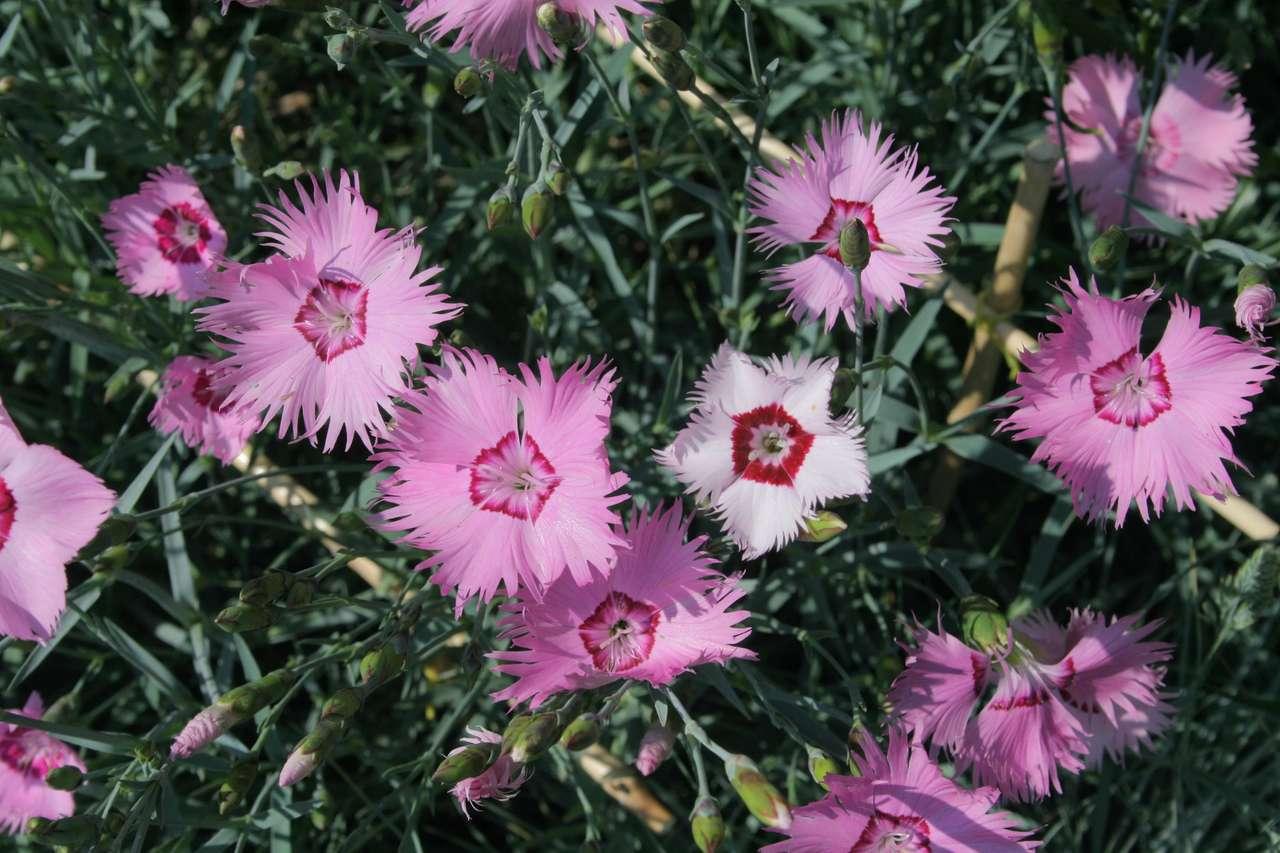 Градински карамфил - Цъфтящи градински карамфил (19×13)