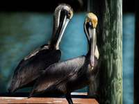 pelicano preto na mesa de madeira marrom