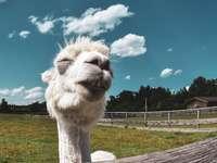 camelo branco em campo de grama verde sob céu azul