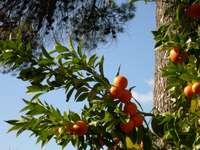 Italiaanse sinaasappels
