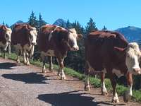 Krávy v pohybu