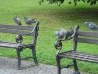 Breslauer Tauben