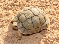 Египетска костенурка
