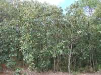 Encino-bos