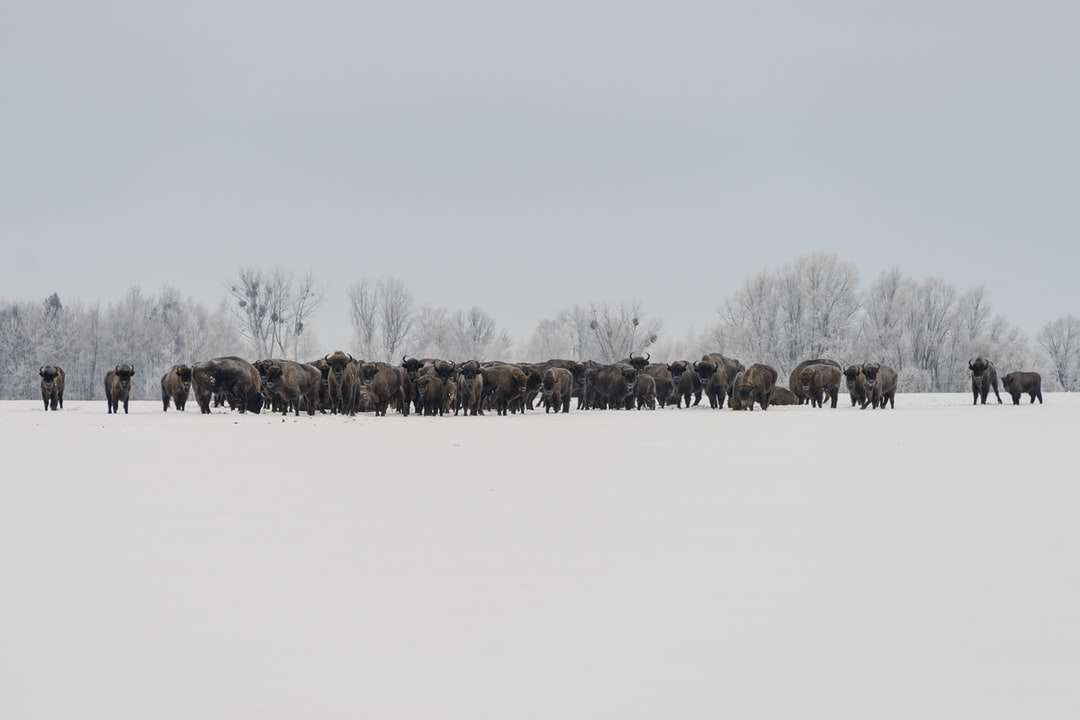 brown trees on snow covered ground during daytime - European bison. Nowokornino, Poland (9×6)