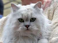 bílá načechraná kočka