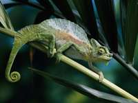 Chameleon na stonku