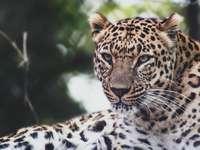леопард, лежащ върху черно-бял текстил