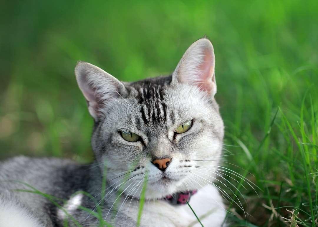 srebrny pręgowany kot na białej tkaninie - Piękny szary kot leżący na trawie (4×3)