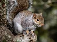 καφέ σκίουρος σε καφέ κλαδί δέντρου