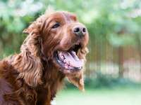 perro con orejas largas