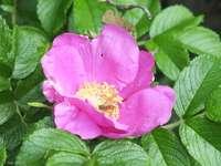 цвете от дива роза