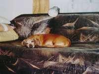 Perro salchicha marrón