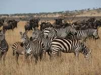 Zebrák és gnúk