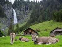 turmă de vaci brune pe câmpul de iarbă verde