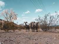 groep geiten op bruin veld onder blauwe hemel overdag