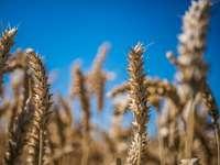 hnědé pšeničné pole pod modrou oblohou během dne