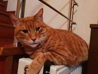 Оранжева котка