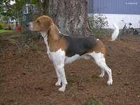 Beagle Harrier