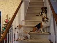 Beagle Harriery na schodach