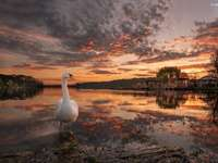 Łabędź, Jezioro, Zachód słońca