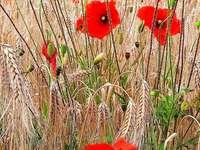 Coquelicots dans le champ de céréales