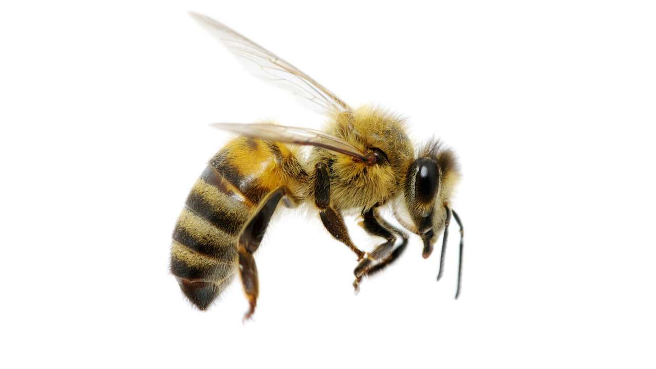 Pszczoła w locie.