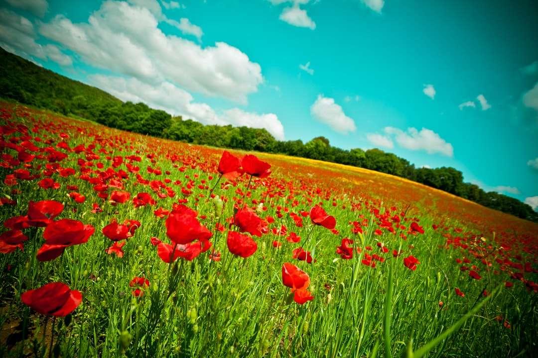 Rött blomfält under blå himmel under dagtid