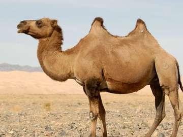 Камила - пустинно местообитание