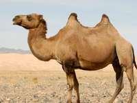 Καμήλα - Habitat Desert