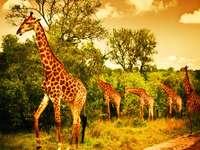 Стадо жираф