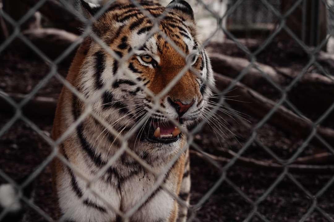 Tygrys w klatce w ciągu dnia