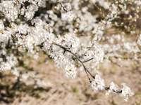 Witte kersenbloesem in close-upfotografie
