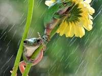 Două broaște de copaci pe o floare în ploaie