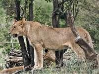 Bruine leeuwin op groen gras overdag