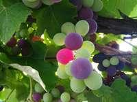 Bordenha uvas