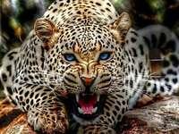 Jaguar periculos