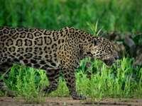 Leopardo caminando sobre la hierba verde durante el día