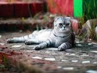 Schotse kat