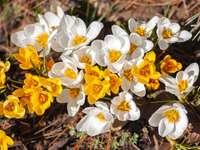 Gele en witte narcissen in bloei overdag