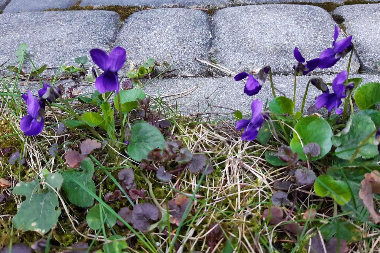 Violetas da mola
