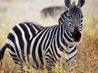 Zebra cruzando .......