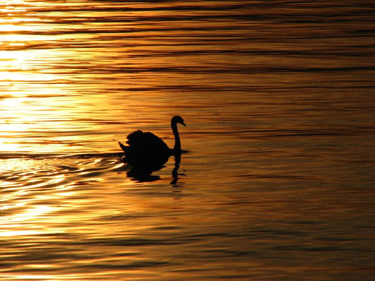 Svájc Montreux Lake Leman Swan